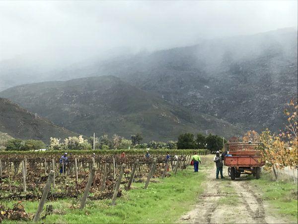 Viininviljelyä Etelä-Afrikassa
